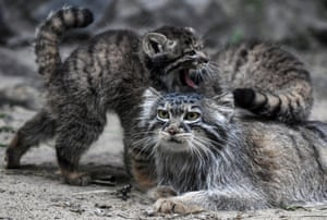 Pallas's cat kittens with their mother at Novosibirsk Zoo, Russia