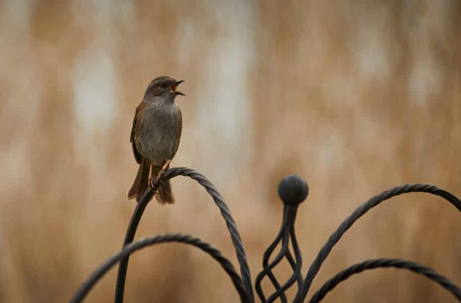 A dunnock at Woodberry wetlands.