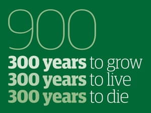 Infographic: 300 years to grow, 300 years to live, 300 years to die