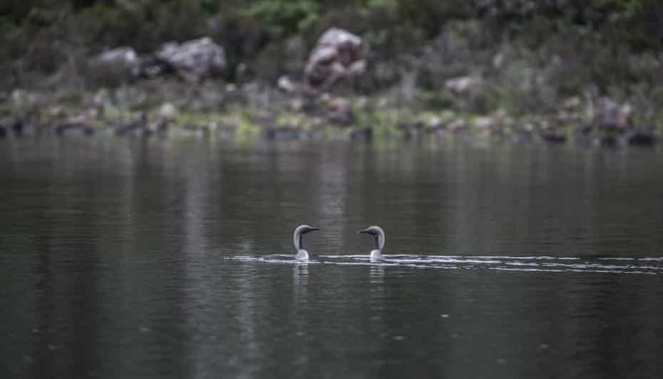 A pair of black-throated divers.
