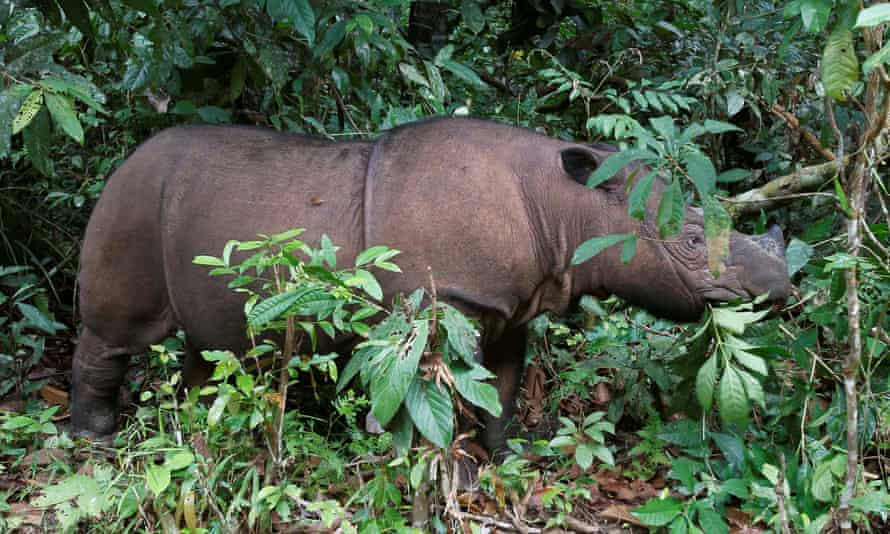 There are fewer than 1,000 Sumatran rhinos left on Earth.