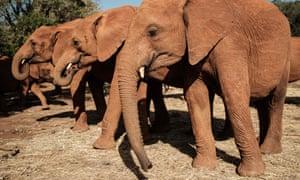 Orphaned elephants at the Sheldrick Wildlife Trust centre in Nairobi, Kenya.