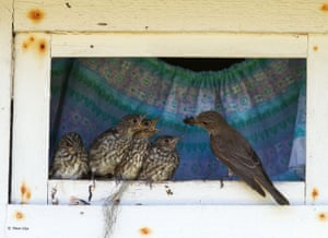 A spotted flycatcher feeds its young at their nest in the window frame of an old outhouse, Batvik, Vasterbotten, Sweden