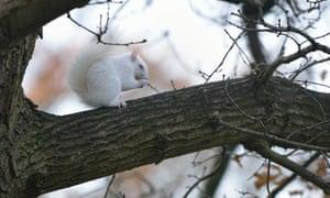 An albino squirrel in Hastings, East Sussex, UK.