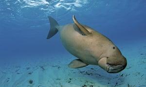 A dugong (Dugong dugong)