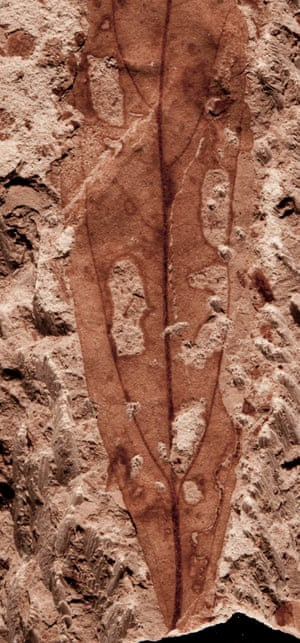 Insect feeding damage on a fossil leaf, including holes and a leaf mine (bottom right), made by a larval insect that fed on tissue within the leaf. The fossil is 67-66 million years old and from the Lefipán Formation in Patagonia, Argentina.