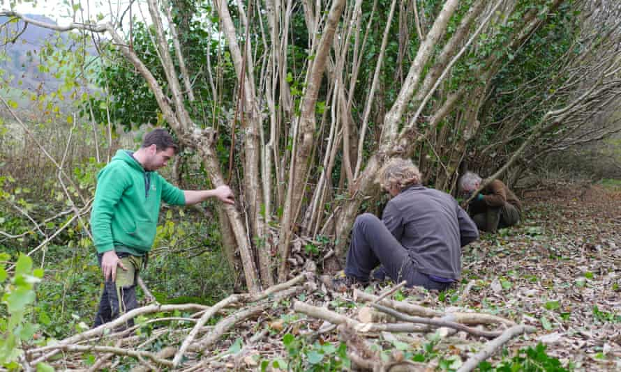 Laying of a hazel stand begins at Stoke Abbott, Dorset.