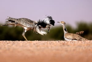 A male houbara bustard dances in order to attract females for mating in the United Arab Emirates' al-Dhafra desert.