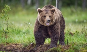 Grin and bear it … a brown bear of the type that Irgit fought off.