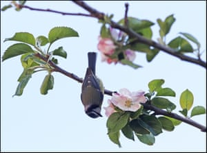 A blue tit and apple blossom