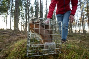 """Documentary series winner, Peter CairnsCairns shot a series of images of the translocation of red squirrels to forests in the north-west Scottish Highlands, where they have been absent for decades.""""On moving day the traps are set and checked within hours. Here a squirrel has been captured from a forest where they're abundant."""""""