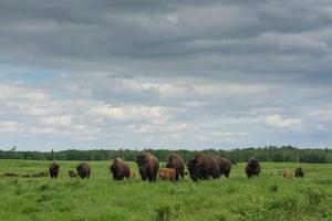 American bison in Elk Island national park, Alberta, Canada.
