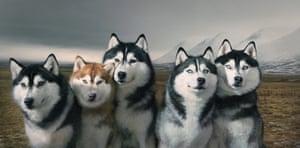 A group portrait of Siberian huskies