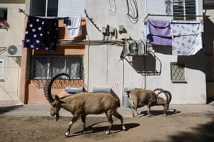 Two Nubian ibex walks past a home with washing hanging outside