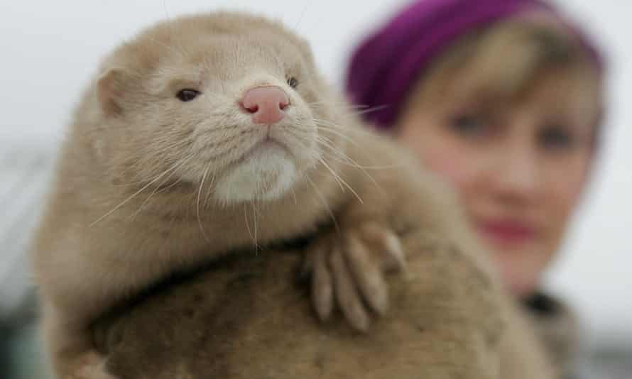 Dutch farms ordered to cull 10,000 mink over coronavirus risk