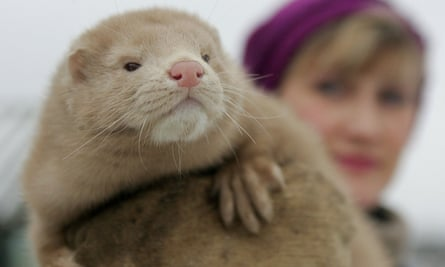 Dutch Farms Ordered To Cull 10 000 Mink Over Coronavirus Risk Netherlands The Guardian