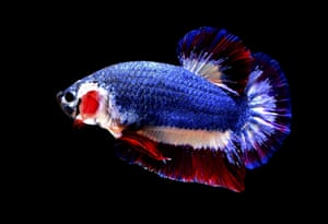 A Siamese fighting fish with colours matching the Thai national flag in Nakhon Pathom, Thailand