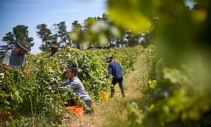 Seasonal workers pick grapes outside Canberra.
