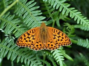 A high brown fritillary