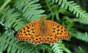 The high brown fritillary resting on vegetation in Heddon Valley, north Devon.