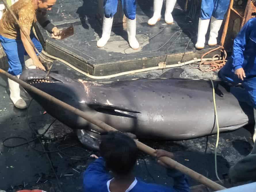 Indonesian crew with a false killer whale