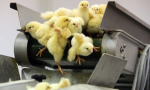 recently hatched chicks falling off a conveyor belt at a Poultry Farm in Russia, 2015.