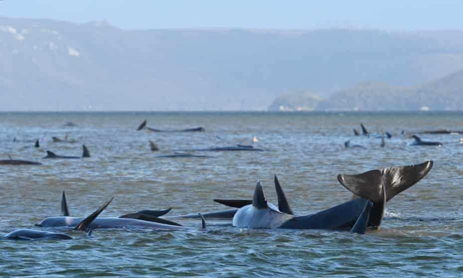 dying whales floating in harbour waters