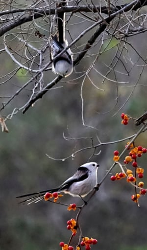 Silver-throated tits, also called panda birds, are attracted by ripe fruit in a park in Daqing in north-east China