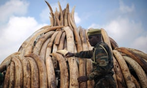 A Kenyan ranger guards a stack of elephant tusks, intercepted before entering the illegal ivory trade. A new domestic ban was backed by most of the 217 members of the IUCN and may help save elephants that are now rampantly being poached.