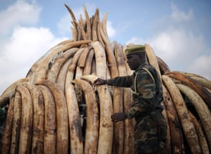 A wildlife ranger stands guard beside a stack of elephant tusks