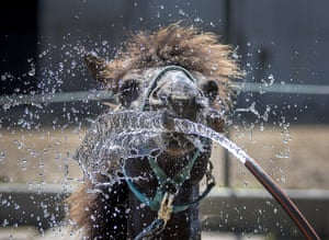 Frankfurt, GermanyAn Icelandic horse is sprayed with water to cool off at a stud farm