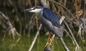 A night heron perched on branch above water