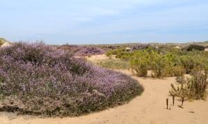 Grand statice (Limoniastrum monopetalum) flowering in sand dunes on Culatra island, Parque Natural da Ria Formosa, Portugal