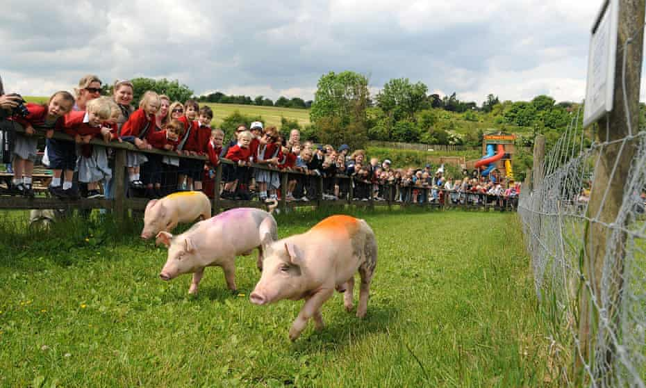 Pig racing at Bocketts Farm Park, Surrey