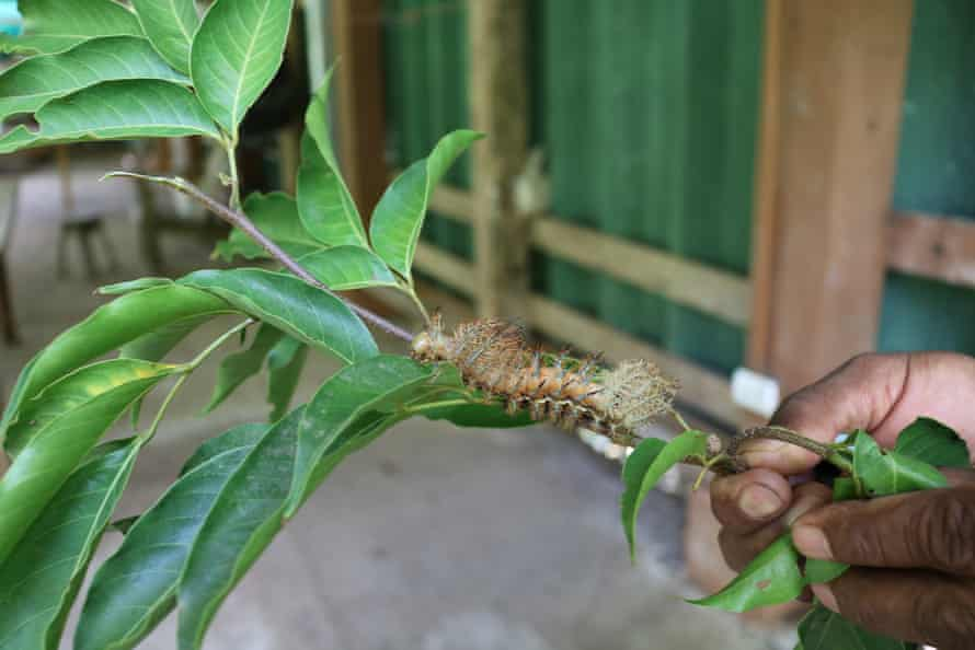 Osvaldo shows a caterpillar that was collected from the nearby rainforest.