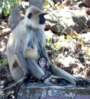 A langoor with her newborn baby at the Van Vihar National Park in Bhopal, India.
