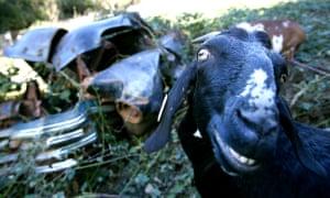No Kiddin Oregon Goats On Mission To Deplete Invasive
