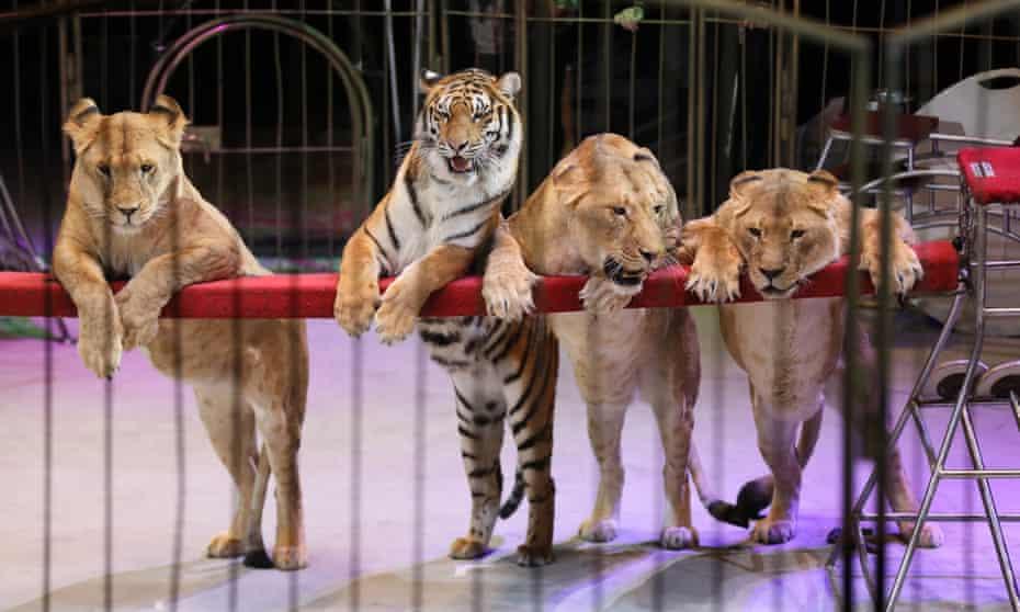 Animals perform in a circus in Vladivostok, Russia, December 2017.