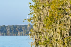 Great white egrets perch in mossy trees by a lake in Florida