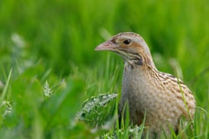 A corncrake in Scotland