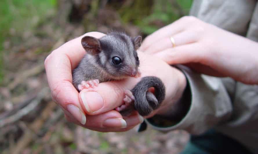 The Leadbeater's possum