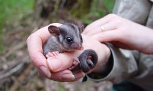 leabeater's possum