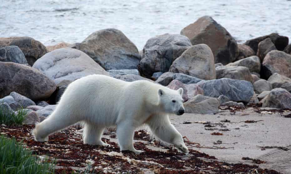 'The guide who had the gun was 100m away' … polar bears in Seven Worlds, One Planet.