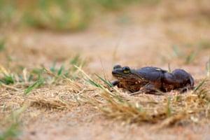The Togo slippery frog