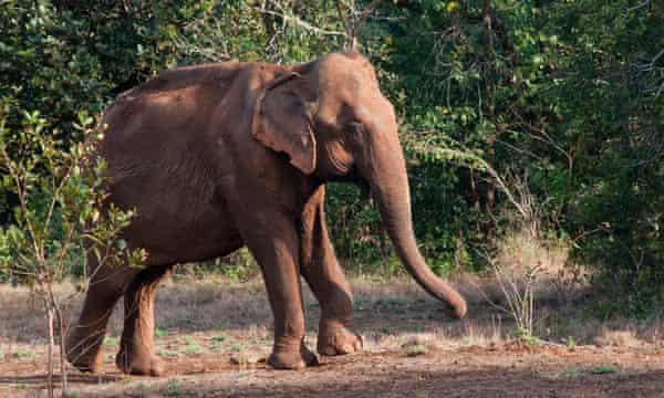 Yok Don elephant in the wild