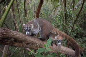 A coatimundi, amember of the raccoon family, in Playa del Carmen, Mexico