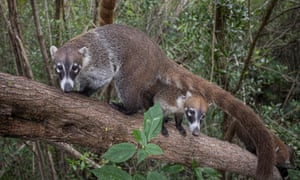The Coati or Coatimundi (Nasua narica) belongs to the dog-like branch of the Carnivora.
