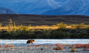 A bear in the Noatak river in Alaska. Help us to fight the government's land sell-off by contributing story ideas and suggestions.