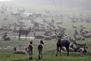 Yancheng, China. A herd of milu deer on a wetland near the Dafeng Milu National Nature Reserve, Jiangsu province