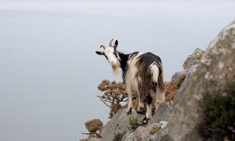 'Don't talk about the goat wars': how a feral herd divided a Devon village